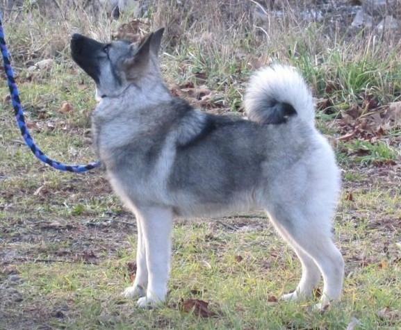 Norwegian Elkhound Litter Size