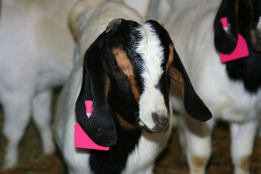 Goat Ear Tags | Homesteading Guide: How To Keep Goats