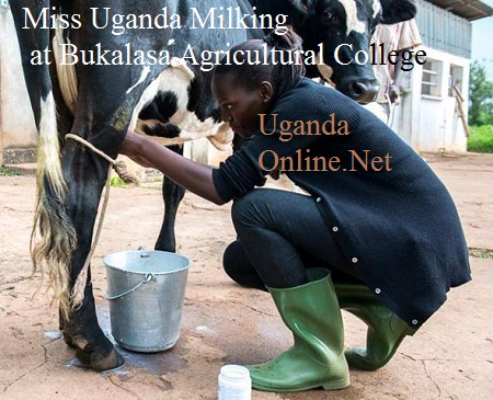 Leah milking a cow at Bukalasa Agricultural College