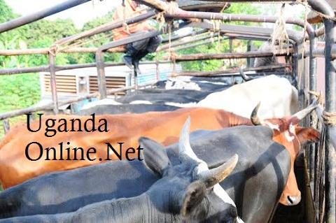 Over 10 heifers were given in exchange of Zari